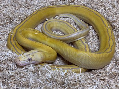 Picture of Male Goldenchild Sunfire Lavender Albino Reticulated Python